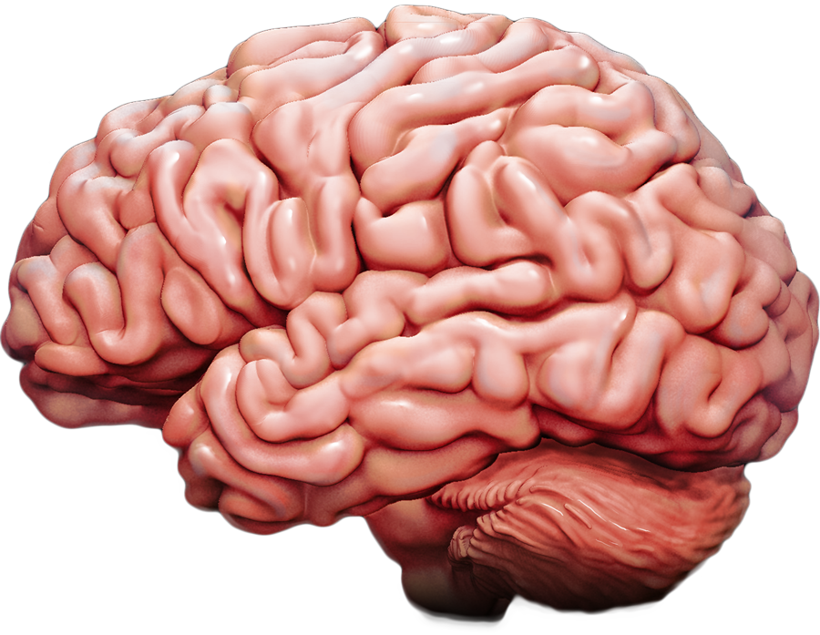 Lateral view of the human brain