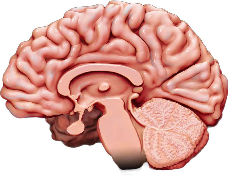 Medial view of the human brain