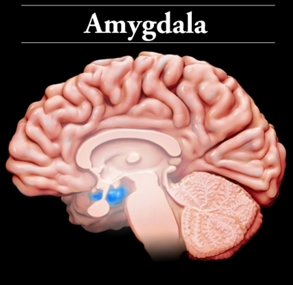 the anatomy of ptsd brainline Brain Structure Diagram the amygdala is the brain\u0027s stress evaluator and decides when to react when a traumatic event occurs, the amygdala