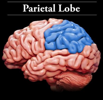 Parietal Lobes