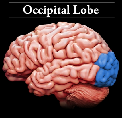 Occipital Lobes